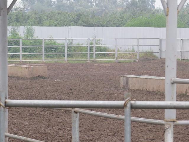 Phân bò phủ kín các chuồng trại gây mùi nồng nặc