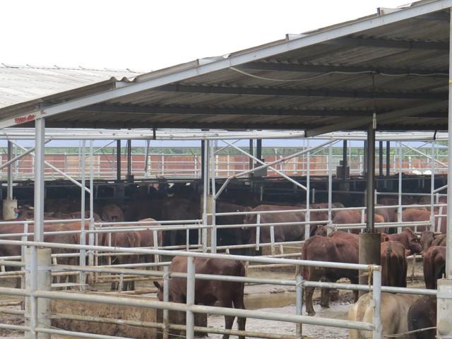 Mùi hôi thối từ hơn 1000 con bò bốc ra khiến cả làng tức thở