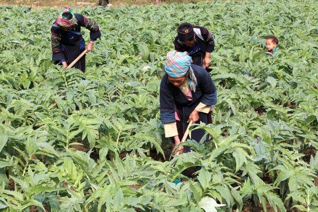 Vùng trồng nguyên liệu 1 hoặc 2, chú thích: Vùng trồng actiso đạt chuẩn GACP - WHO tại Sapa, Lào Cai.