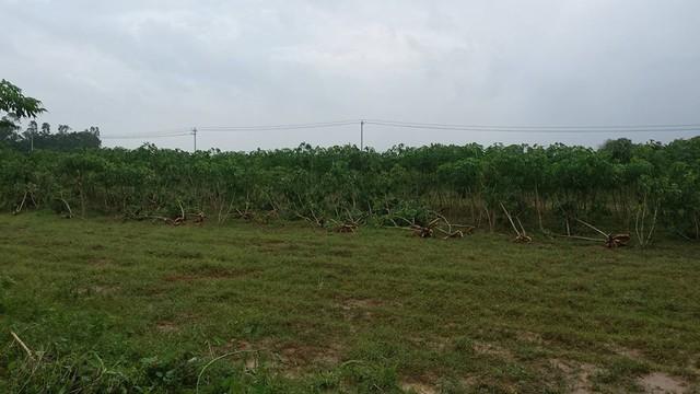 Hàng chục ha sắn của thôn An Thái (xã Cam Tuyền) bị hư hỏng do ngập nước..