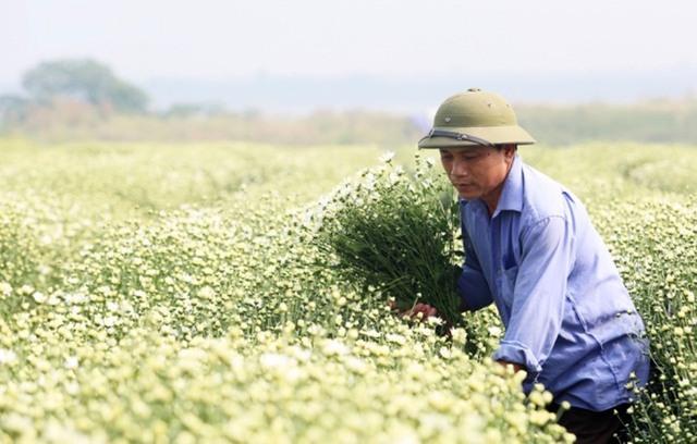 Những vườn cúc họa mi được giá tạo thu nhập ổn định cho người nông dân. Trong ảnh, ông Nguyễn Trọng Hạnh đang cắt hoa để kịp nhập cho thương lái. Ảnh: Đình Việt