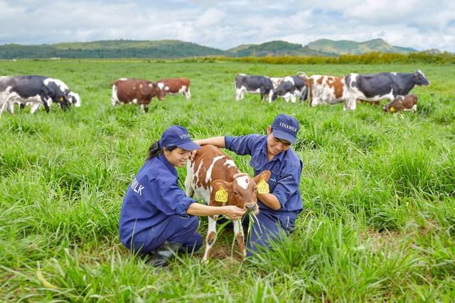 Trang trại bò sữa Organic Vinamilk tại Lâm Đồng vừa là trang trại đầu tiên tại Việt Nam được công nhận đạt tiêu chuẩn châu Âu