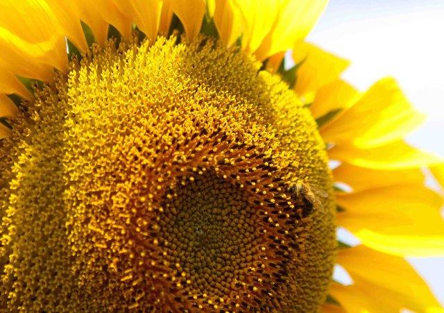 Những bông hoa vàng ươm kiêu hãnh vươn mình trong cái se lạnh đầu đông nối nhau chạy dài tít tắp thực sự tạo nên sức hấp dẫn khó cưỡng với những ai từng đặt chân đến nơi này.