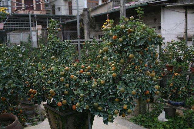 Chậu quất bonsai dáng Tì hưu được ông Mạnh báo giá 15 triệu đồng.