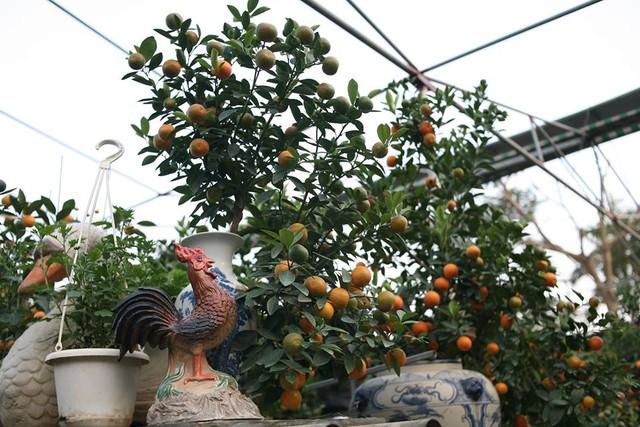 Theo ông Mạnh, để trồng một cây quất cảnh bonsai mini phải mất ít nhất 2 năm. Cây quất được trồng khi còn nhỏ, bứng lên chậu, chăm sóc, tạo dáng, uốn nắn mới có được một sản phẩm hoàn thiện. Trong ảnh: Chú gà trống đứng trên hòn non bộ gáy vang thể hiện tài lộc, uy mãnh và sức khỏe trong năm mới.