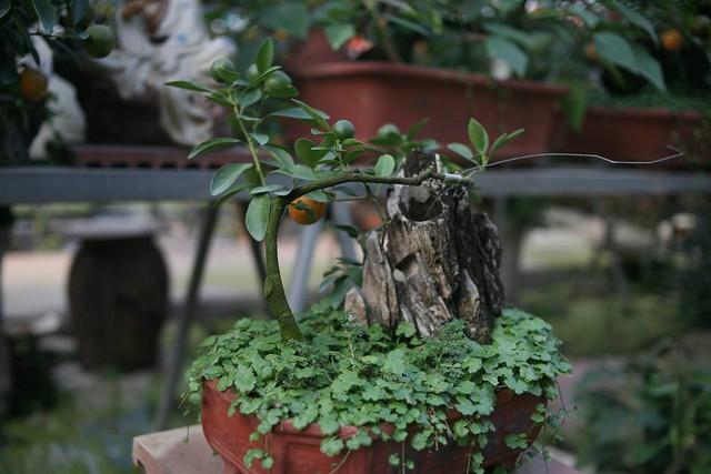 Ngoài những cây quất bonsai hình gà, trong vườn nhà ông Mạnh còn rất nhiều cây quất có hình dáng khác nhau.