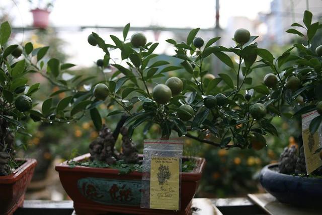 Nhưng cây quất bonsai đã được khách đặt trước vài tháng.