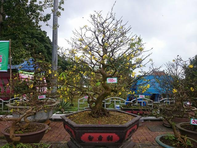 Ngoài cây hoàng mai có giá bạc tỷ, nhiều gốc mai đẹp có giá từ vài chục đến vài trăm triệu cũng xuất hiện tại chợ Hoa xuân ở Huế năm nay
