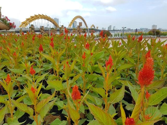 ...có rất nhiều loại hoa được đưa về trang trí ở đường hoa Bạch Đằng, trong đó, hoa mào gà nổi bật với màu sắc rực rỡ