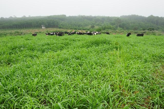 Những cô bò sữa hữu cơ trên cánh đồng của trang trại bò sữa hữu cơ TH