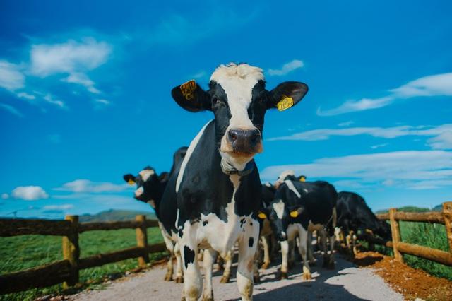 Đàn bò organic của Vinamilk được nhập khẩu từ nước Úc.
