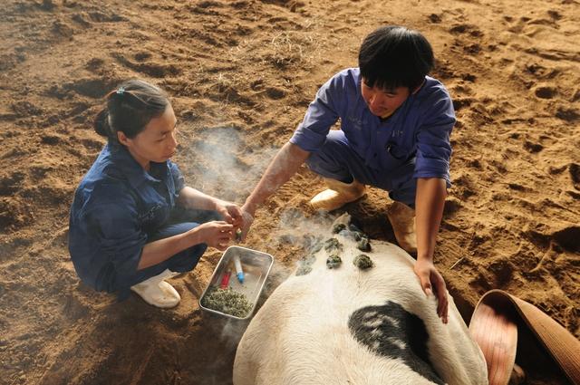 Những cô bò sữa Organic bị bệnh được điều trị bằng thảo dược