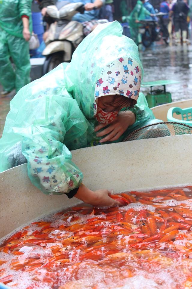 Một người mua cẩn thận chọn từng con cá. Theo kinh nghiệm của những người bán hàng, mỗi nhà nên mua 3 con cá để cũng ông Công, ông Táo. Vì theo truyền thuyết, mỗi gia đình đều có 3 vị Táo quân cai quản là Thổ Công, Thổ Địa và Thổ Kỳ.
