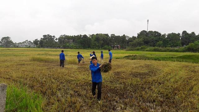 Tại Hà Tĩnh, đoàn viên thanh niên tích cực xuống ruộng giúp bà con thu hoạch lúa chạy bão.