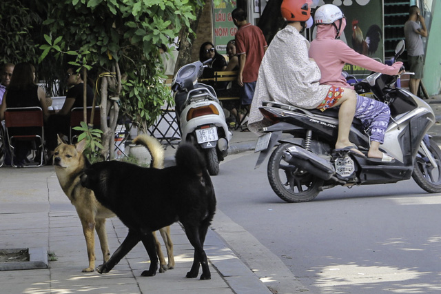 Chó vẫn thả rông, không rọ mõm nhan nhản tại đường phố Hà Nội trước ngày Nghị định xử phạt có hiệu lực. Ảnh: Cao Tuân