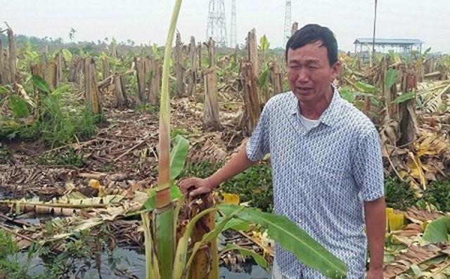 Ông Quân đau xót khi hàng nghìn cây chuối nhà mình bị chặt phá. Ảnh: K.Minh