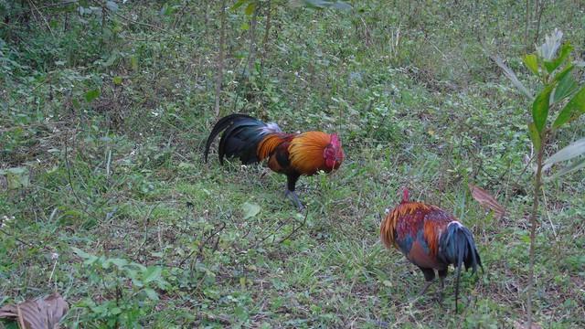 Gà rừng đáp xuống chuẩn bị giao chiến với gà mồi.