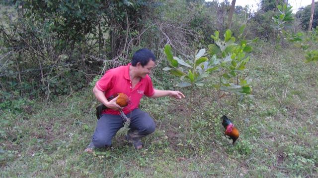 Một thợ săn đang đặt bẫy với chú gà mồi để dụ gà rừng đến. Ảnh: Tiến Dũng