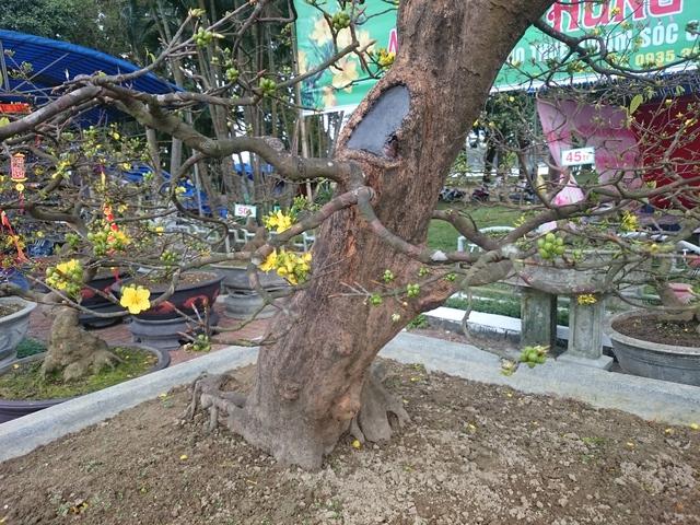 Cây hoàng mai được rao bán giá 1 tỷ có tán cao, gốc cây sần sùi có đường kính trên 30cm với thế uốn lượn đẹp mắt. Nhiều cành đang trổ hoa khoe sắc vàng đậm đặc trưng.