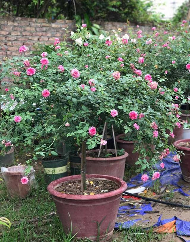 Chị Tuyết chấp nhận vay nặng lãi lấy tiền vốn để mua hoa hồng về trồng