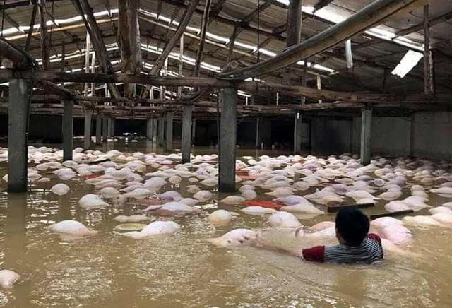 Xác lợn nổi trắng cả trang trại