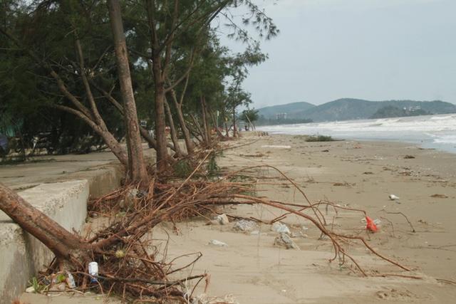 Hàng trăm cây xanh dọc bãi biển bị sóng đánh bật gốc.