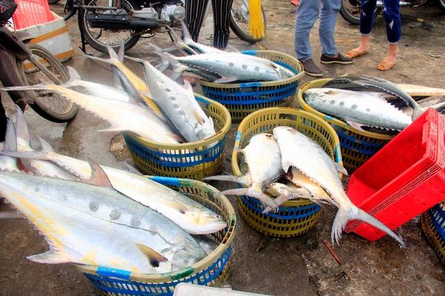 Mỗi con cá bè vàng được đưa vào bờ nặng từ 5 đến 6 kg. Ảnh: N.V