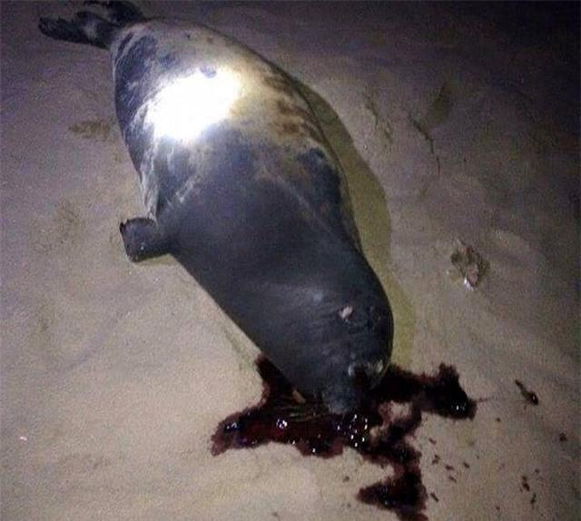 Con hải cẩu được người dân phát hiện bị đánh chết vào đêm Tết Dương Lịch. Ảnh : Phan Rí.