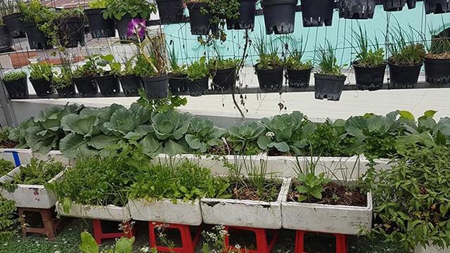 Tận dụng mái nhà trống, cách đây 2 năm, chị Nguyễn Thị Thu Linh, một nhân viên văn phòng, bắt đầu mua các loại thùng xốp, thùng nhựa, đất sạch về trồng rau. Lúc nào trong vườn cũng có hơn 20 loại, từ rau ăn lá, ăn quả, ăn củ đến rau thơm.