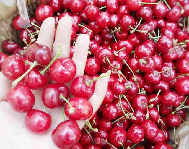Giá của cherry Trung Quốc chỉ khoảng 90.000 đồng/kg