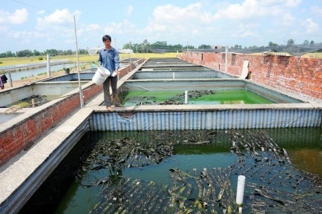Trại ếch hàng nghìn con của anh Nguyễn Văn Nữa ở Đồng Tháp Mười. Ảnh: Ngọc Trinh.