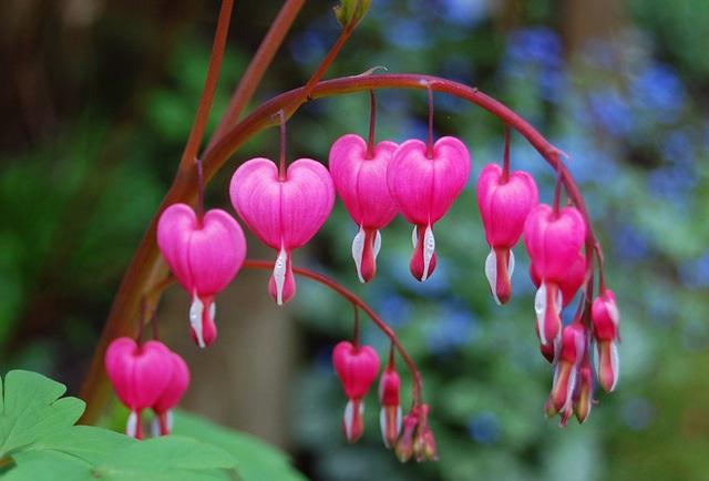 Vẻ đẹp quyến rũ của loài hoa có cái tên khá ấn tượng - huyết tâm.