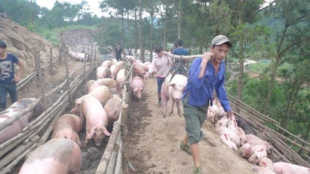 Phụ thuộc Trung Quốc, Việt Nam tăng đàn lợn đã dẫn tới dư thừa, phải giải cứu thịt lợn(ảnh: theo Tiền phong)
