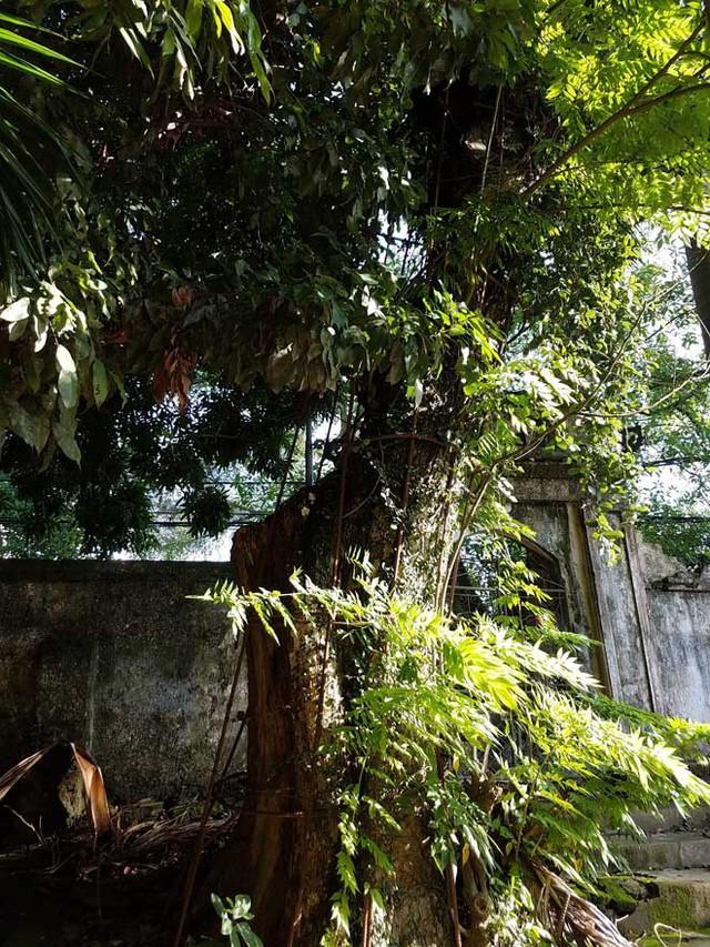 Cây sưa 130 tuổi ở chùa làng Phụ Chính, xã Hòa Chính, huyện Chương Mỹ từng được định giá lên tới 100 tỷ.