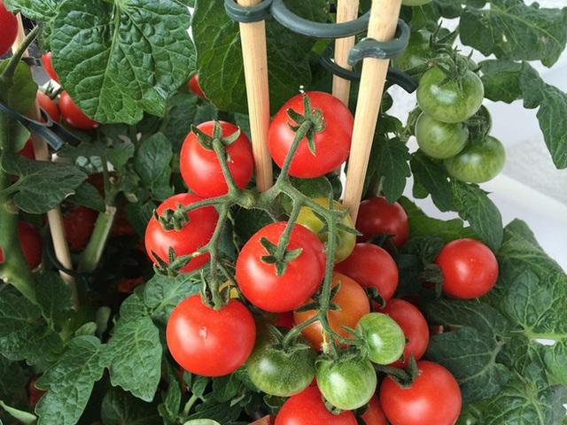 Cà chua sẽ rất dễ trồng nếu bạn tìm được cách phù hợp.