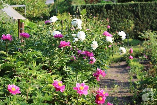 Khu vườn nhà chị Lan đang mùa mẫu đơn nở rộ.