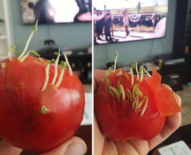 Rõ ràng quả cà chua vẫn tươi, đỏ chót nhưng những mầm xanh của hạt đã thi nhau chồi lên cứ như thể chúng đã được gieo xuống đất.