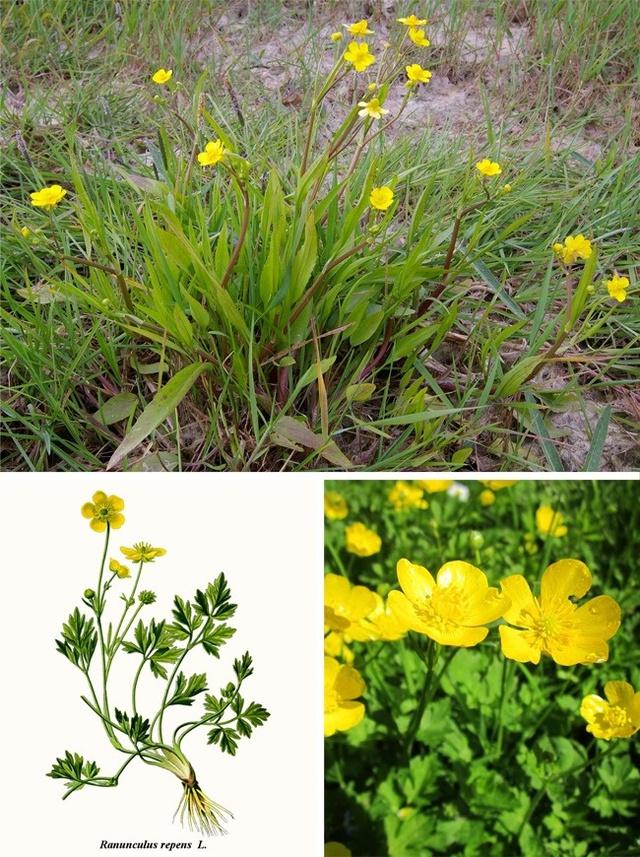 Nhìn bề ngoài những bông hoa nhỏ xinh, màu vàng này có vẻ rất đáng yêu nhưng thực tế bên trong chúng có chứa caustic, chất có thể gây ra các vết loang trên da. Chất nhầy trong nhụy hoa có thể gây ho và chứng co thắt thanh quản khi tiếp xúc trực tiếp, nhựa hoa dính vào mắt có thể gây mù tạm thời.