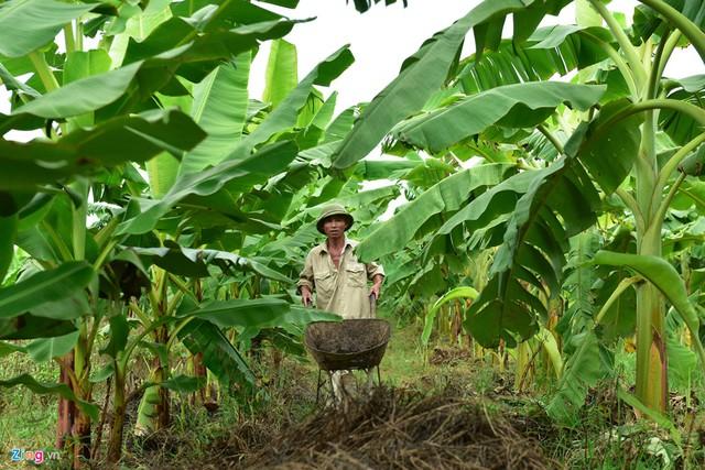 Vài năm gần đây, người dân các huyện Khoái Châu, Kim Động (Hưng Yên), Phú Xuyên (Hà Nội) chuyển đất bãi ven sông Hồng từ trồng ngô sang trồng chuối với diện tích lên đến vài trăm ha.