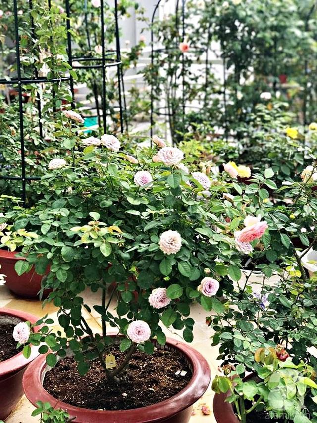 Với kinh nghiệm nhiều năm trồng hồng, anh Phương Anh khá tự tin khi trồng cây từ rễ trần.