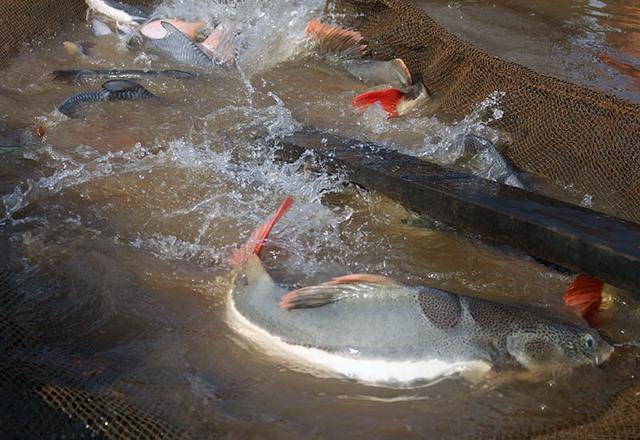 Người đang sở hữu nhiều loại cá quý hiếm như cá Hồng Vỹ (cá trê đuôi đỏ - thuỷ quái Amazon), cá Trà Sóc, cá Trê Cọp… là ông Lý Văn Bon (58 tuổi, ngụ Cồn Sơn, khu vực 1, phường Bùi Hữu Nghĩa, TP Cần Thơ).
