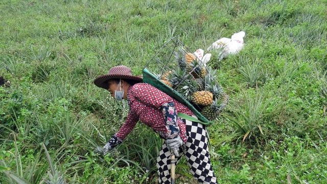 Thu nhập hàng trăm triệu đồng nhờ trồng dứa