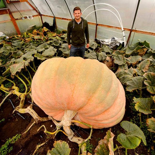 Quả bí ngô khổng lồ nặng tới 907kg của Matt Mcconkie.