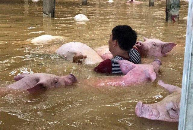 Cán bộ, nhân viên trại bất lực, không thể giải cứu số lợn mắc kẹt trong nước lũ. Ảnh: P.T.