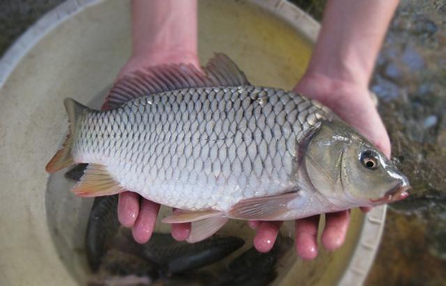 Chỉ mua cá mắt sáng trong, có bề ngoài sáng bóng, ấn vào thân cá thấy có sự đàn hồi tốt, thịt chắc (Ảnh: Internet)