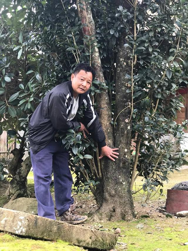 Cây mộc hương cổ được ông Minh tìm mua với giá tiền tỷ