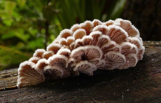 Trông nhỏ bé vậy thôi nhưng loài nấm này có tới hơn 23.000 giới tính phục vụ việc sinh sản.