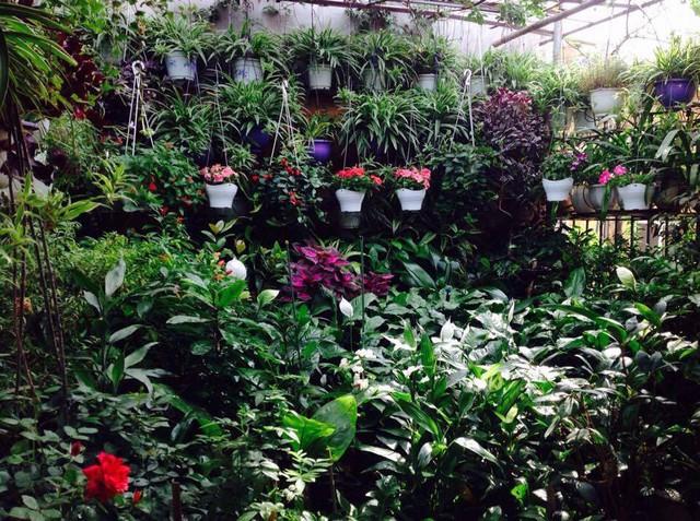 Vườn cây cảnh trên sân thượng của cô Nga tràn ngập cây xanh và hoa