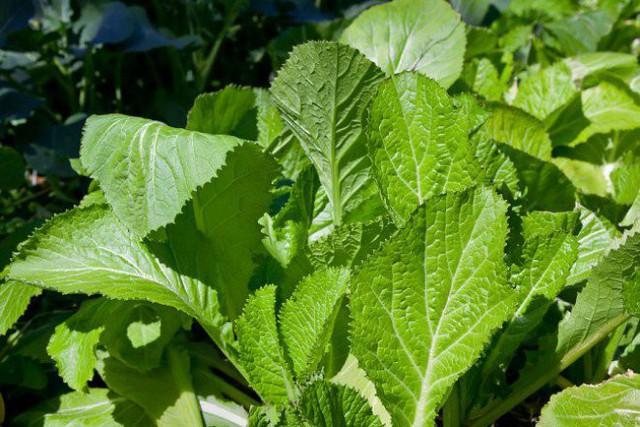 Tại Việt Nam, thông thường người ta hay trồng rau cải xanh vào tháng 8 đến tháng 11 để có khí hậu vào thu mát mẻ. Sau 25 - 30 ngày gieo hạt để có có cây khoảng 3 - 4 lá thì đem đi trồng trong thùng xốp.