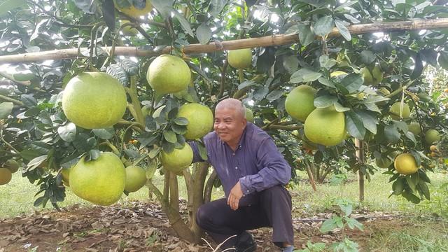 Vườn bưởi da xanh 1.200 gốc năm đầu bói quả giúp lão nông Lê Văn Dung (Tân Lạc, Hòa Bình) đạt được ước mơ thu về tiền tỷ trong thời gian tới.